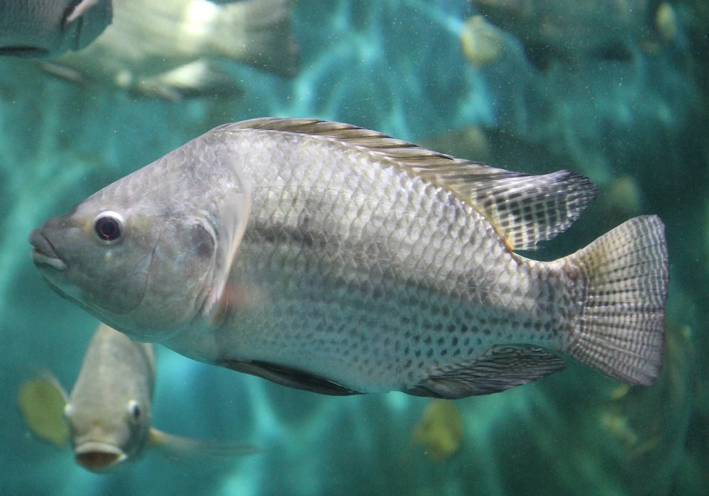 A Blue Tilapia, one of the most invasive fish in Florida.