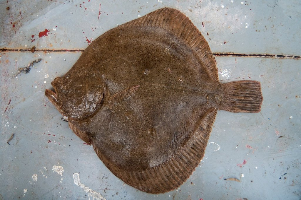 A Turbot, one of the most expensive types of Flatfish in the world, lying on the floor of a boat.