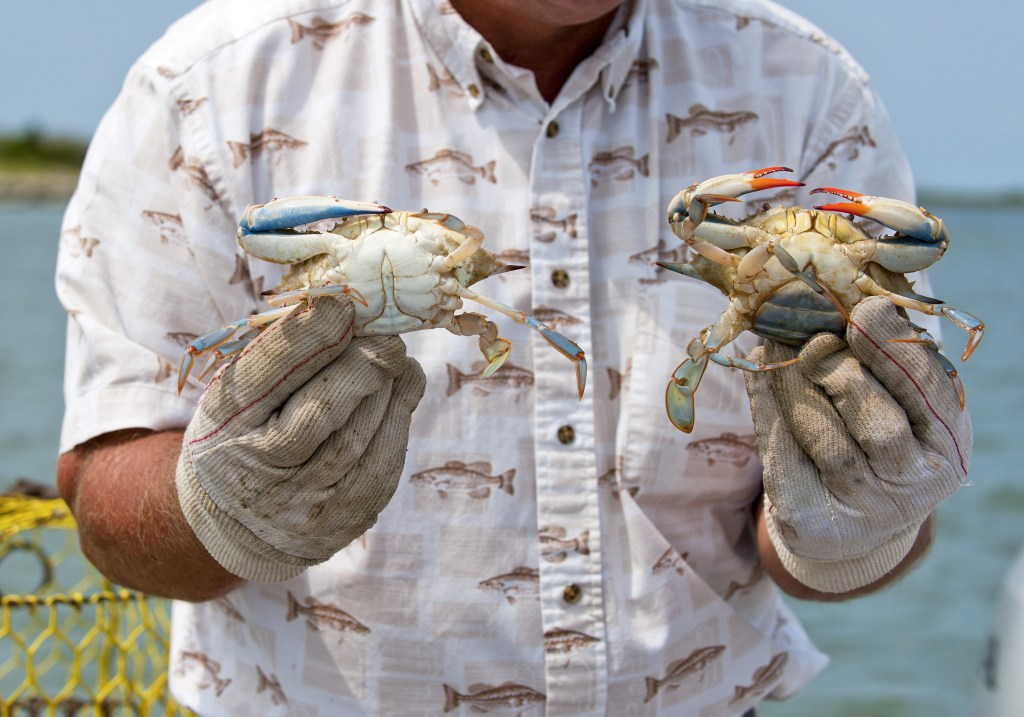 A man in a white shirt and gloves holding two Blue Crabs