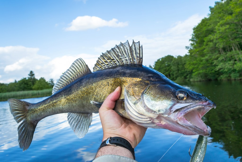 A Walleye fish being held above a lake