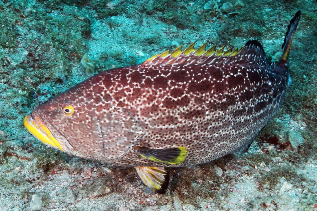 A Yellowfin Grouper underwater around rocky structure
