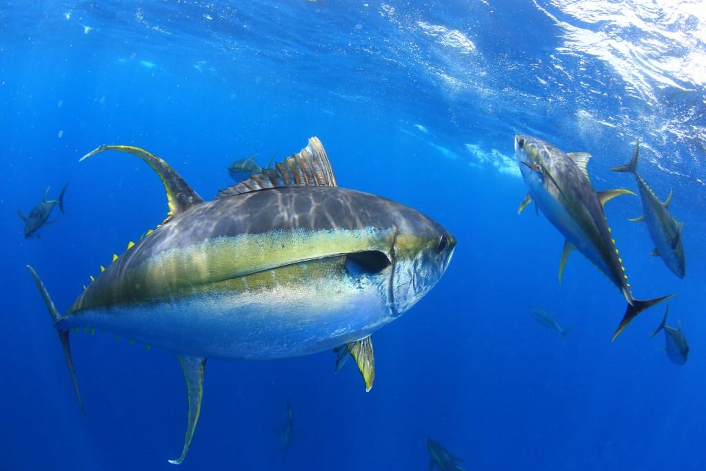 a school of Yellowfin Tunas underwater