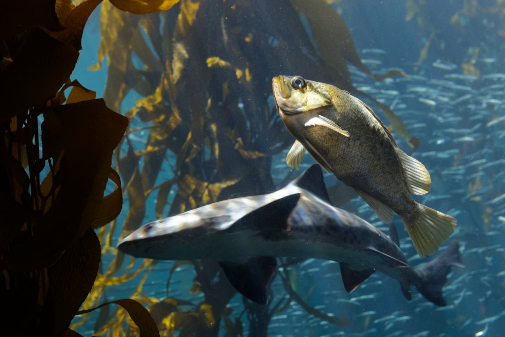 Fish in the kelp forest