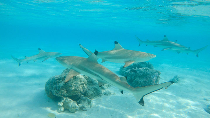 Destin Fishing Rodeo Shark Saturdays: Blacktip Sharks
