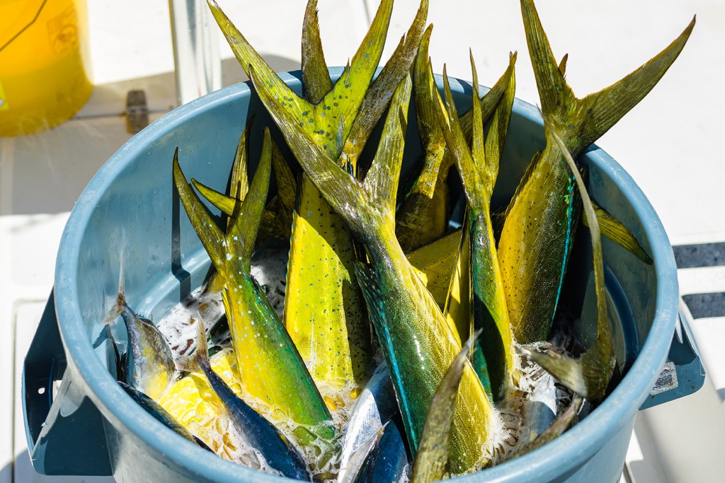 Lots of freshly-caught Mahi Mahi fish in a bucket of ice