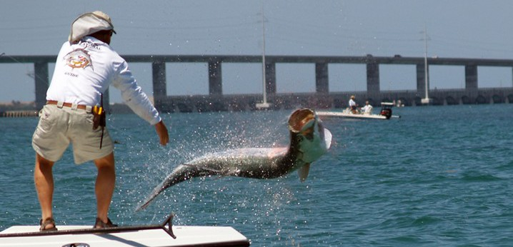 An angler on a Tampa Bay fishing trip fighting a Tarpon which is jumping out of the water.