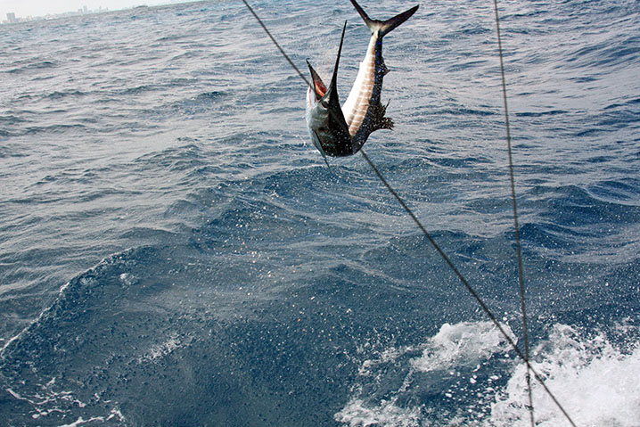 Sailfish jumping out of the water after being hooked