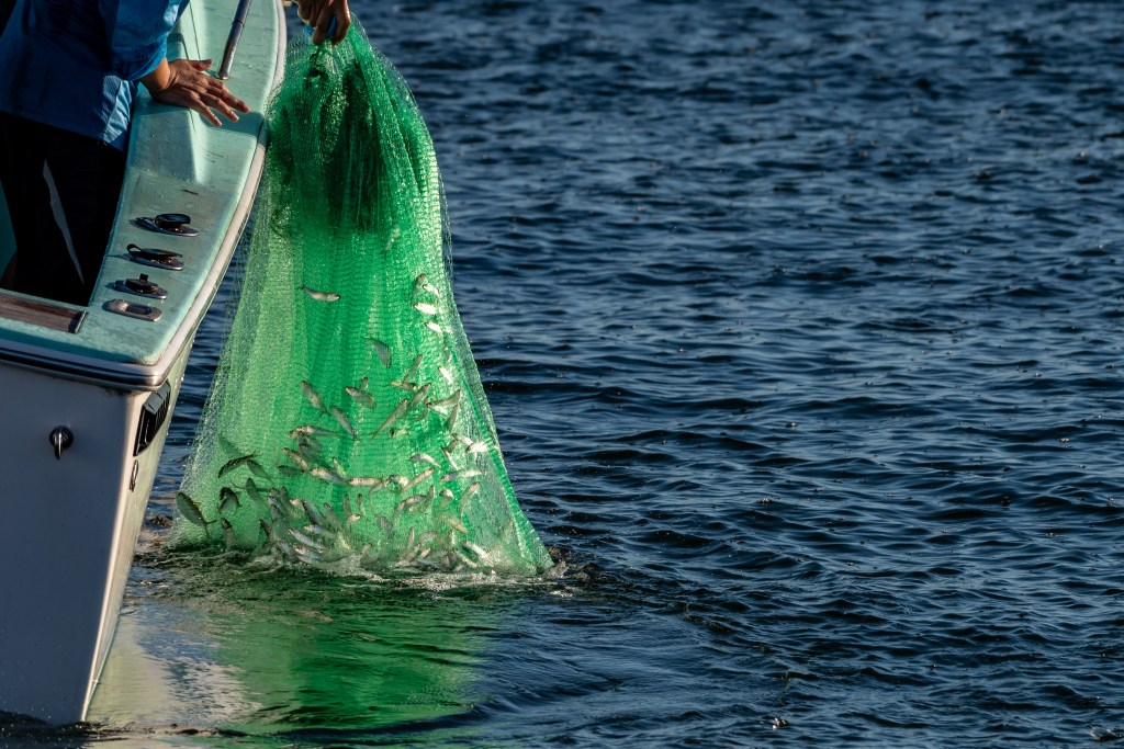 an angler in a boat, pulling a large cast net full of baitfish from the water