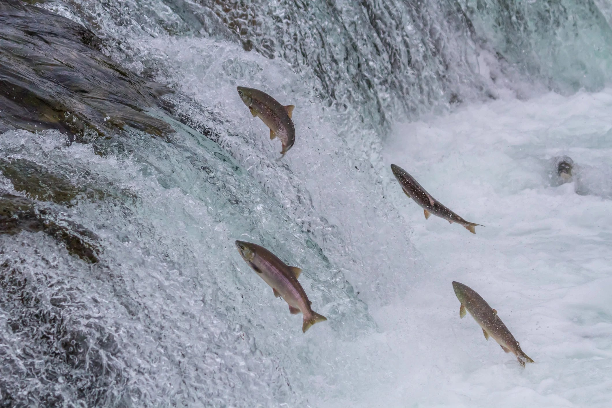 four Salmon trying to jump over a small waterfall