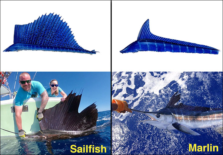 The image showing Sailfish vs Marlin dorsal fin, with a diagram showing their fins shape and an image of Sailfish and Marlin caught