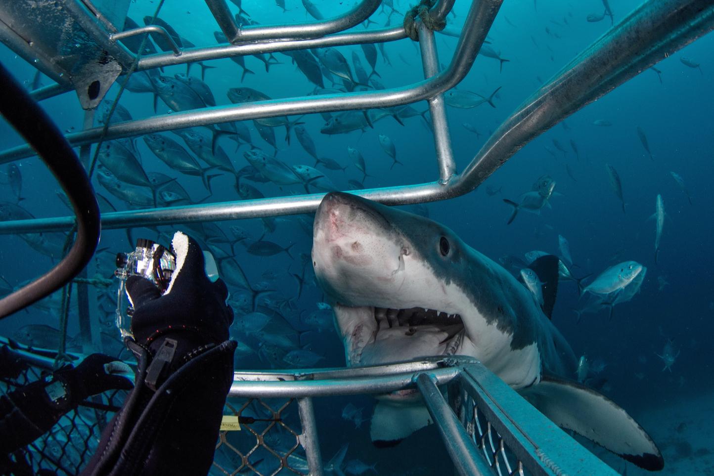 shark close up at Port Lincoln
