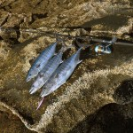 A group of small Bonito fish laid on a rock just after being caught