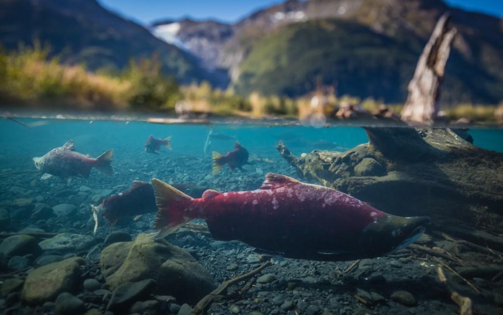 Sockeye Salmon swimming in aqua blue waters