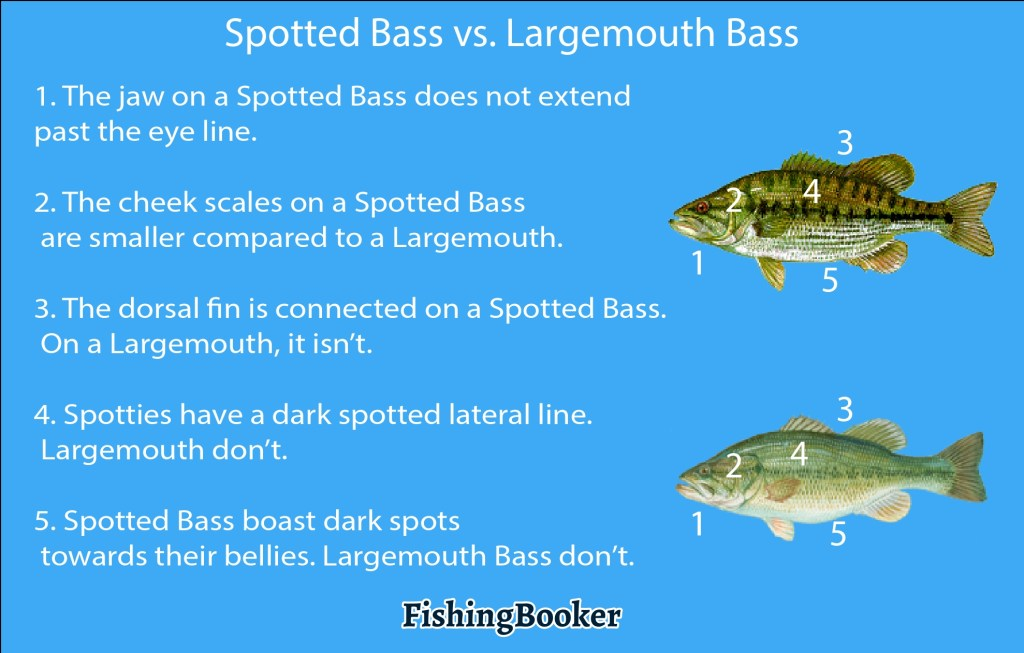 spotted bass vs. largemouth bass
