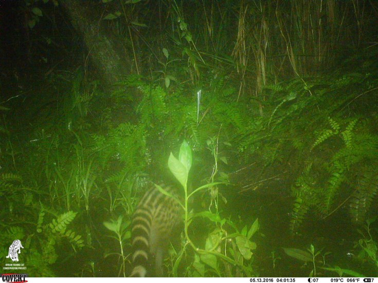The fishing cat look a like - Small Indian Civet