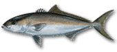 Miami Tuna Fishing
