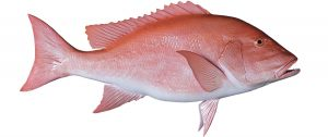 Deep Sea Fishing Species | Miss Rachel Charters