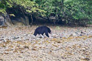 Black Bear on the Beach 02