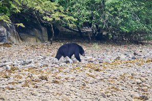 Black Bear on the Beach 02