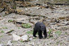 Black Bear on the Beach 03