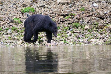 Black Bear on the Beach 05