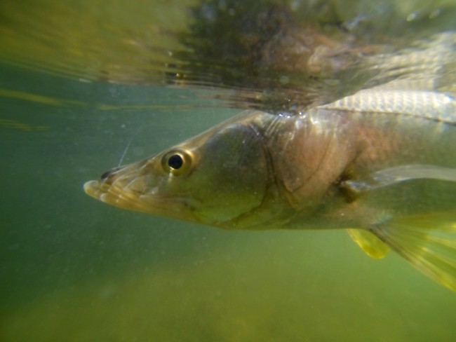 Snook fort myers fishing guide