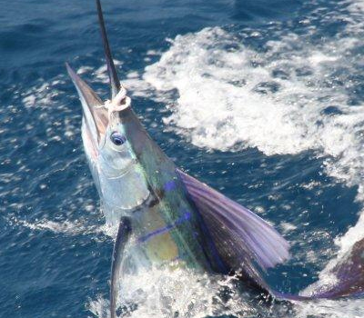 Sailfish caught in the RBFC tournament