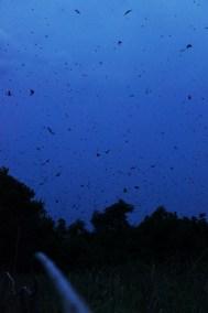 Bats in flight at Kasanka National Park