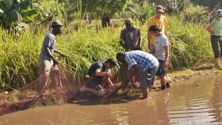 Harvesting fingerlings from a brood stock pond