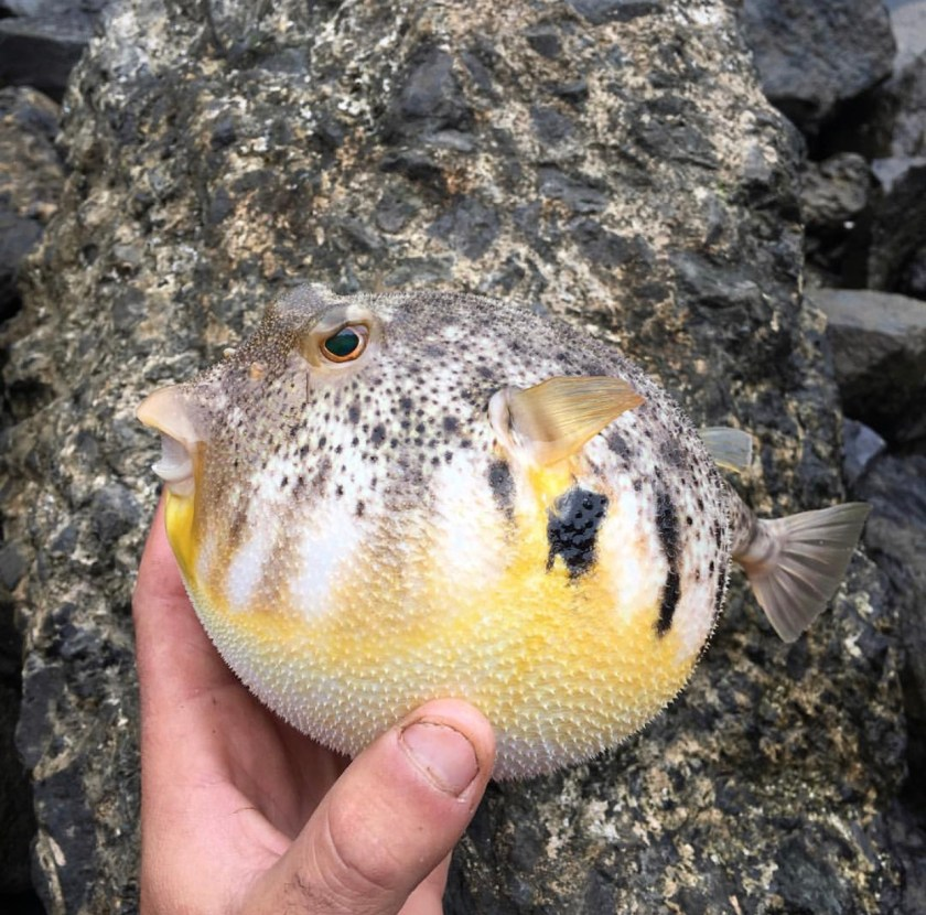 Blowfish are a lot of fun to catch and make a tasty meal.