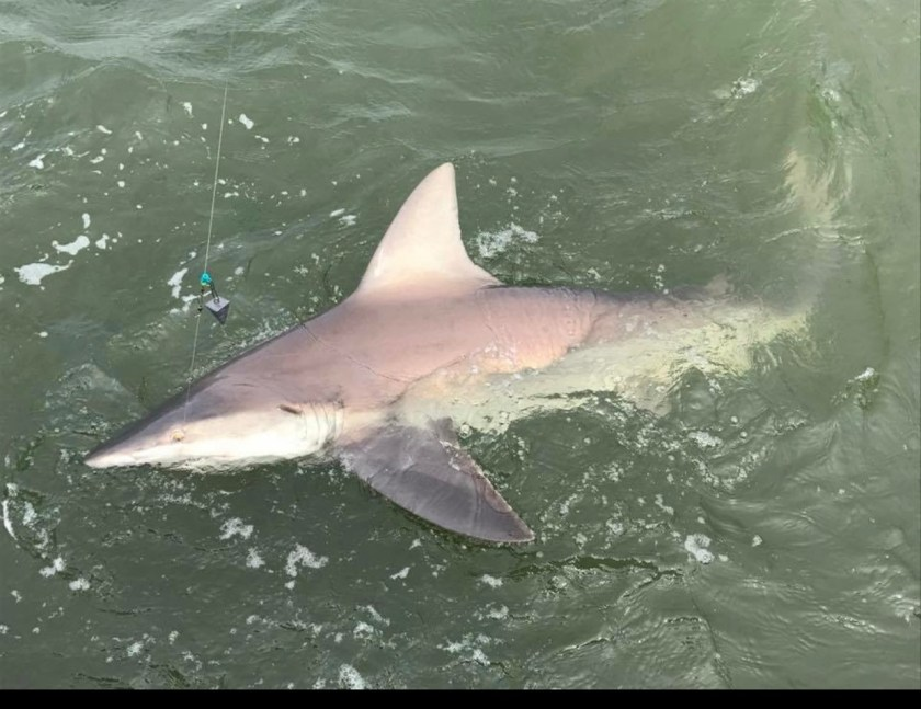 Brown sharks love the warm shallow bay waters of Long Beach Island.