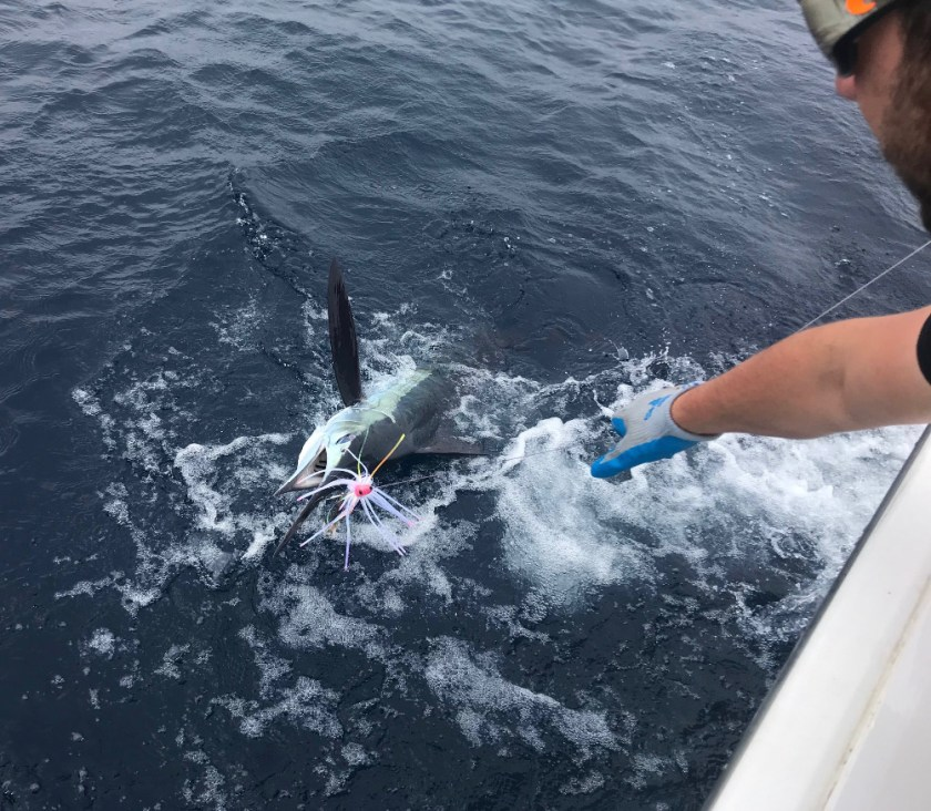 White marlin love the Hoo Magic just like everyone else.