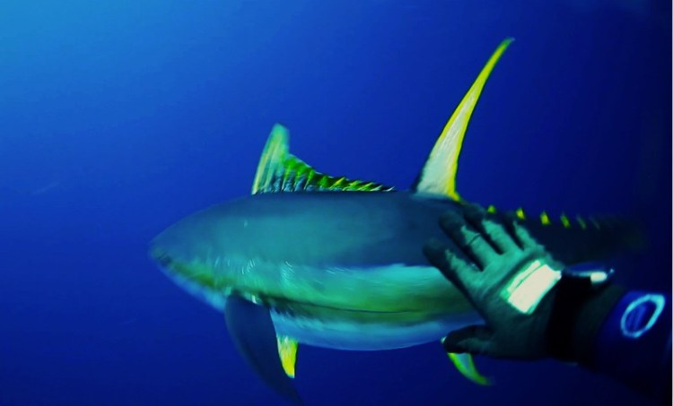 Petting Wild Yellowfin Tuna 1