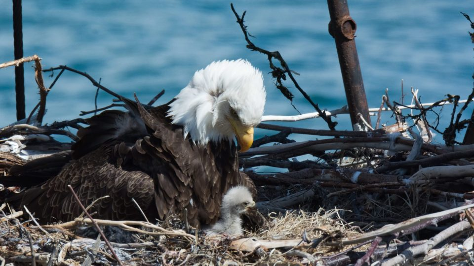 Tennessee Issues $2,500 Reward in Bald Eagle Shooting