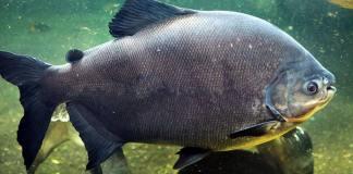 ปลาเปคู