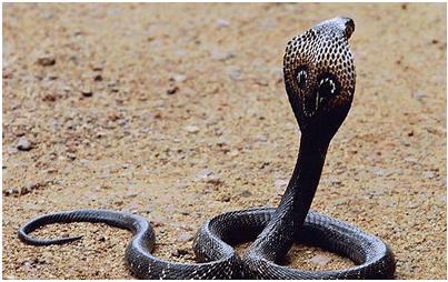 งูเห่าสีดำ