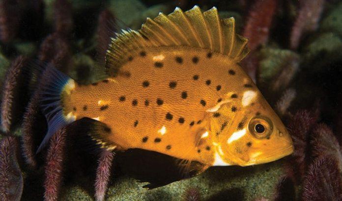 ลูกปลากะพงยักษ์