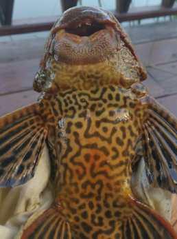 pla-joker-thai-fish