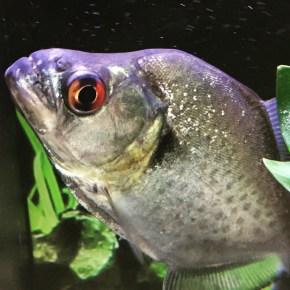 Piranha, Serrasalmus sp. Copyright Fishkeeping News Limited