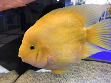 King Kong parrot cichlid Copyright Fishkeeping News Limited