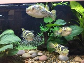 Pufferfish, Tetraodon fluviatilis Image copyright Fishkeeping News Limited