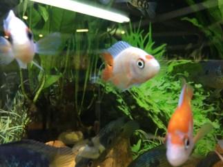 Midas cichlid, Amphilophus citrinellus Copyright Fishkeeping News Limited