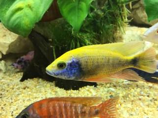 Aulonocara hybrid Copyright Fishkeeping News Limited