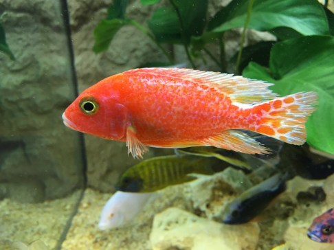Red man-made Aulonocara colour variant Copyright Fishkeeping News Limited