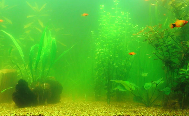 aquarium water turn green