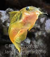 Gold Laser Cory