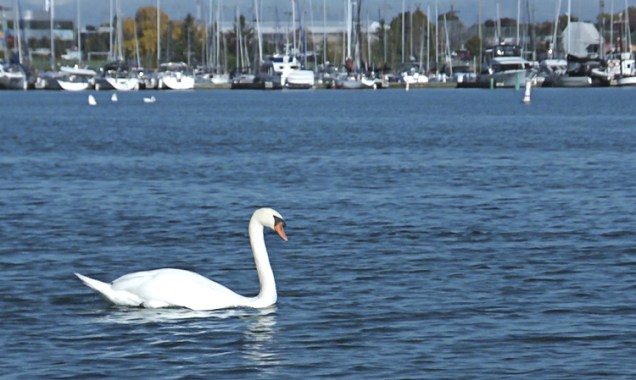 The Whitby harbour is full of big elegant swans