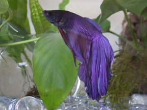 betta fish care guide purple betta