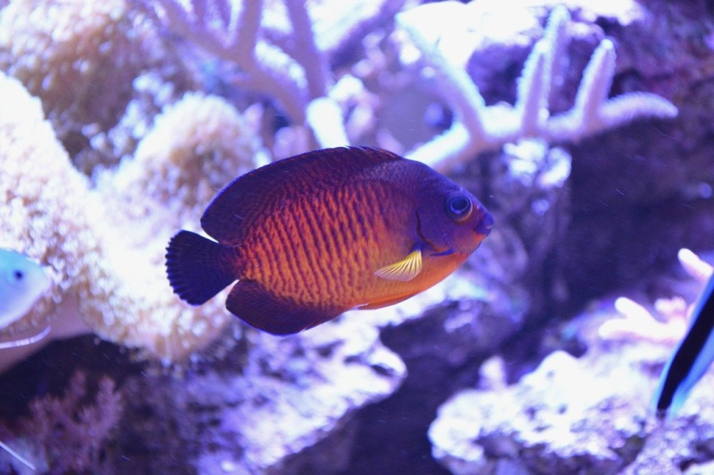 dwarf angelfish