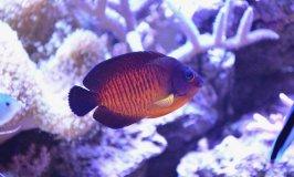 Dwarf Saltwater Angelfish